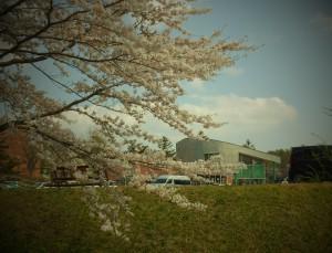 緑の村の桜並木 ほぼ満開!
