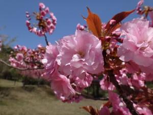 130517昭和の森八重桜