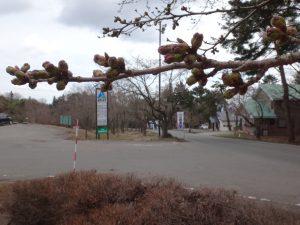 170422緑の村(ソメイヨシノ)