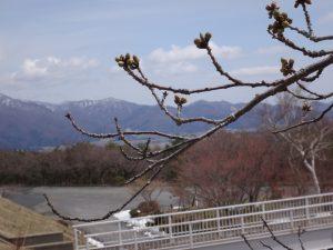 170422昭和の森(ソメイヨシノ)