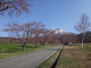 170430町営牧場(ソメイヨシノ②)