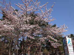 170430緑の村(ソメイヨシノ・五分咲き)