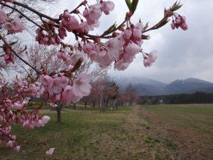 170501町営牧場(タカトオコヒガン・咲き始め)②