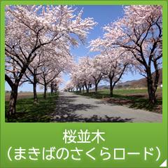桜並木 (まきばのさくらロード)