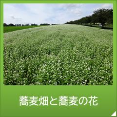 蕎麦畑と蕎麦の花